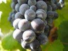 Vino della Toscana
